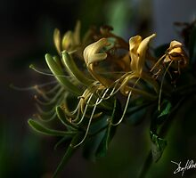Honeysuckles 14 by Patito49