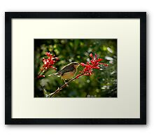 Eastern Spine-bill chick feeding Framed Print