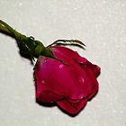 The Single Rose on Pearly White Background by Sherry Hallemeier