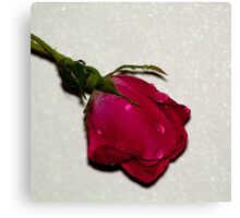 The Single Rose on Pearly White Background Canvas Print