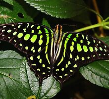 Open Wings Tailed Jay - Graphium agamemnon by Lepidoptera