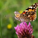 A Sweet Taste - Painted Lady - Vanessa cardui by Lepidoptera