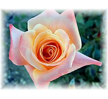 First Rose of The Season Photographic Print