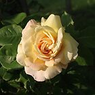 mom's yellow rose by SusieG