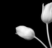 Tulips by Platslee