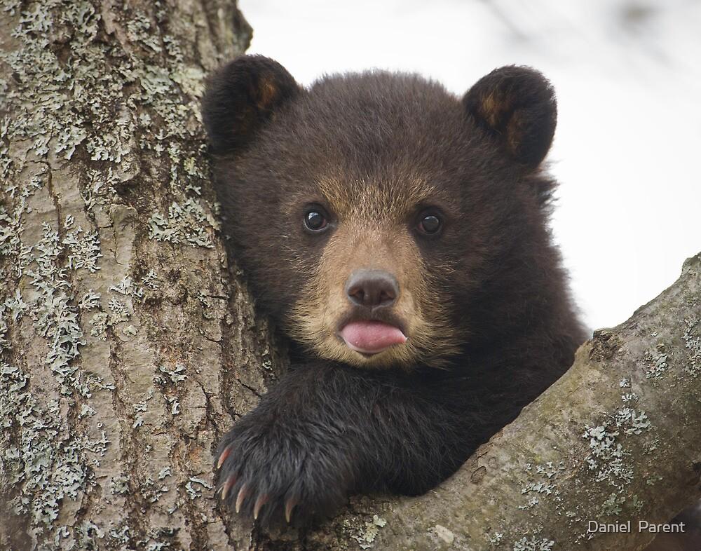 Bear Cub by Daniel  Parent