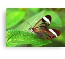 Open Wings Glasswing - Greta Oto Canvas Print