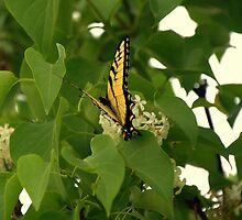 Black and Yellow by Chuck Chisler