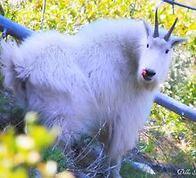 Goat Lick by Debbie Roelle