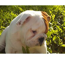 English bulldog Photographic Print