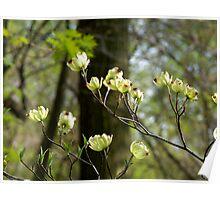 Flowering Dogwood (Cornus florida) Poster