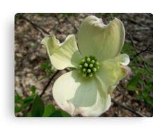 Flowering Dogwood Bloom Canvas Print