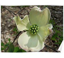 Flowering Dogwood Bloom Poster