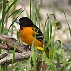 Baltimore Oriole On Guard by withacanon