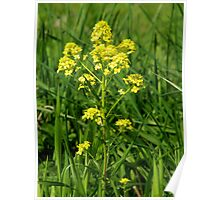 Garden Yellowrocket  Poster