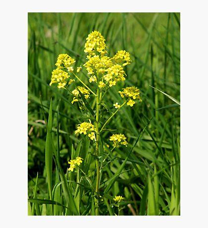 Garden Yellowrocket  Photographic Print