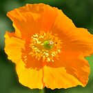 Orange Poppy by Steve