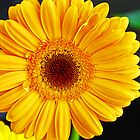Yellow Gerbera Daisy by Jennifer Hulbert-Hortman