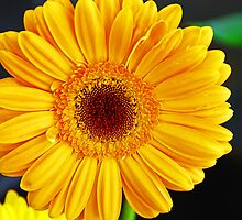 Yellow Gerbera Daisy by Jennifer Hulbert-Hortman