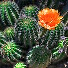 Cactus Flower by Tim Wright