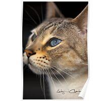 Bengal cat close up Poster