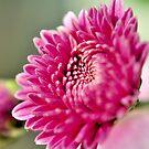 Purple Chrysanthemum by srijanrc