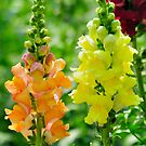 Snapdragon or Antirrhinum by srijanrc