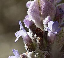 Lavender by paulinea