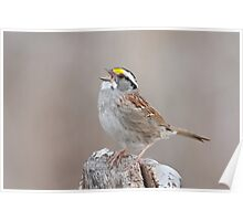 White-throated Sparrow belts it out. Poster