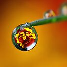 Marigold Caught in a Dew Drop by Bryan Jolly