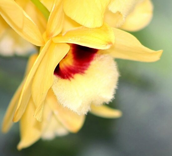 *Yellow Orchid Macro* by DeeZ (D L Honeycutt)