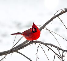 Cardinal On A Branch  by Mary Carol Story