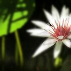 Water Lily by Shelley Neff