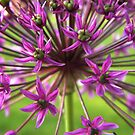 Allium Burst by Sharon Woerner