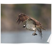 The Osprey Returns to the Nest with Food Poster
