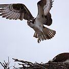 Osprey Fly-by by JamesA1