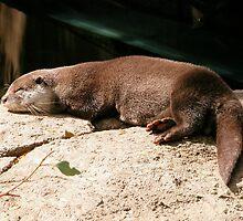 Water Otter, Canberra Zoo, Australia. by kaysharp