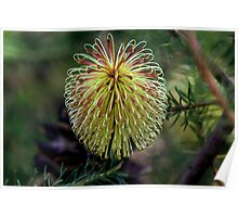 Banksia laricina Poster