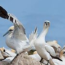 Who&#x27;s a lucky boy! Gannets, Saltee Island, County Wexford, Ireland by Andrew Jones