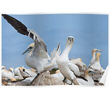 Who's a lucky boy! Gannets, Saltee Island, County Wexford, Ireland Poster