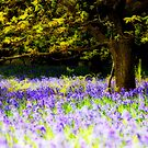 Bluebells (Orton) by PaulBradley