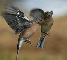 Hovering Chaffinches by M.S. Photography/Art