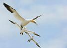 Gannet Echelon, Saltee Island, County Wexford, Ireland by Andrew Jones