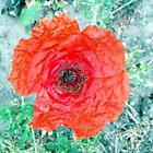 Single Poppy by Stephen Willmer