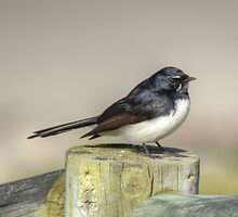 willy wagtail by ralphyboy