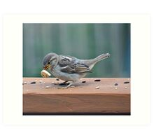Fledgling house sparrow learning to eat on her own Art Print