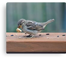 Fledgling house sparrow learning to eat on her own Canvas Print