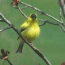 American Goldfinch by Tracy Faught