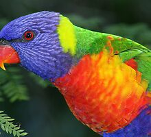 Lorikeet in my back yard Brisbane by Steve Bass