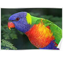 Lorikeet in my back yard Brisbane Poster